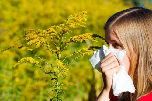 Air-pollution-increases-allergenicity-of-ragweed-pollen